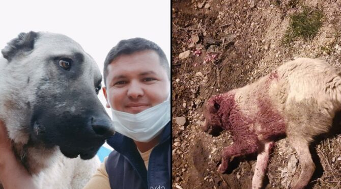 Mersin'de köpek katliamı! Çoban köpekleri tek tek vuruluyor