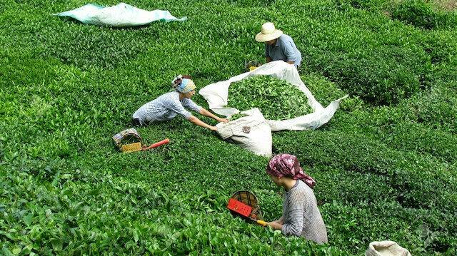 Türkiye'den 95 ülkeye çay ihracatı