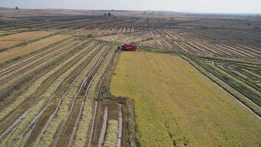 Sinop'ta çeltik ekimine başlandı